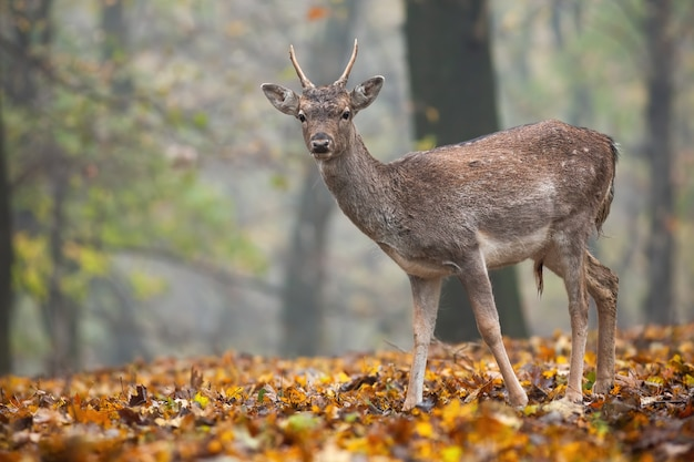 Giovani daini in piedi nella foresta in autunno la natura