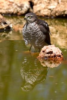 Giovane femmina di sparviero eurasiatico fare il bagno e bere in una buca d'acqua in estate, falco, uccelli, falchi, accipiter nisus