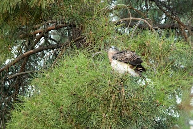 Giovane femmina di shorttoed eagle in un pino con la prima luce di una giornata di sole