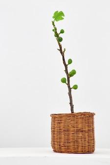 Giovane albero di fico con frutta di fico in un vaso di cesto di vimini