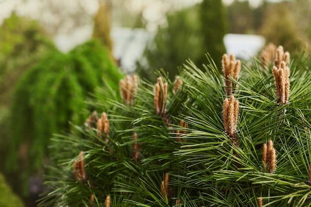 Giovani germogli fioriti di pini sulle cime dei rami di pino.