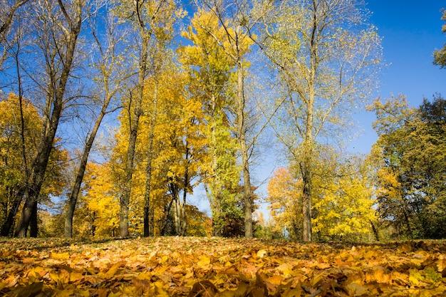 Giovane foresta con alberi decidui ricoperti di fogliame giallo autunnale prima delle foglie che cadono, parco cittadino in estate indiana, soleggiata giornata calda