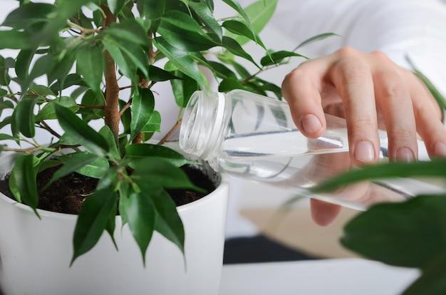 Giovane giardiniere che versa pianta di ficus verde con acqua fresca a casa