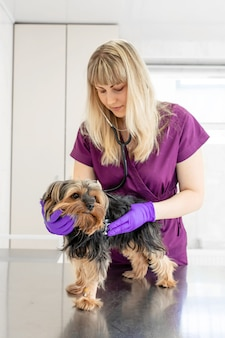 Il veterinario della ragazza nella clinica esamina con lo stetoscopio un cane di razza yorkshire terrier.
