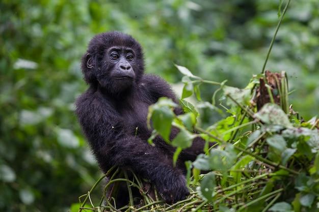 Giovane gorilla nel deserto del parco nazionale della repubblica democratica del congo