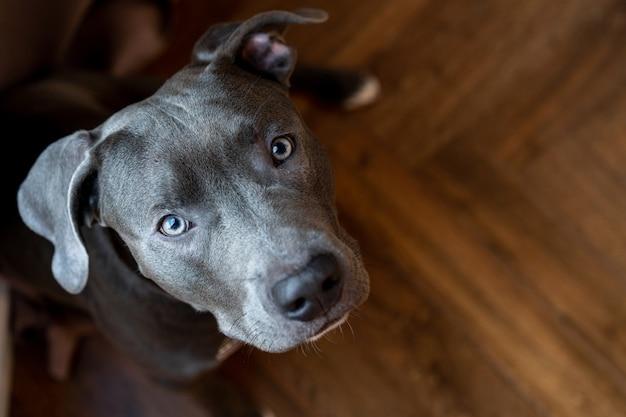 Giovane pitbull grigio, primo piano della museruola, copia dello spazio, animale domestico che esamina la macchina fotografica.