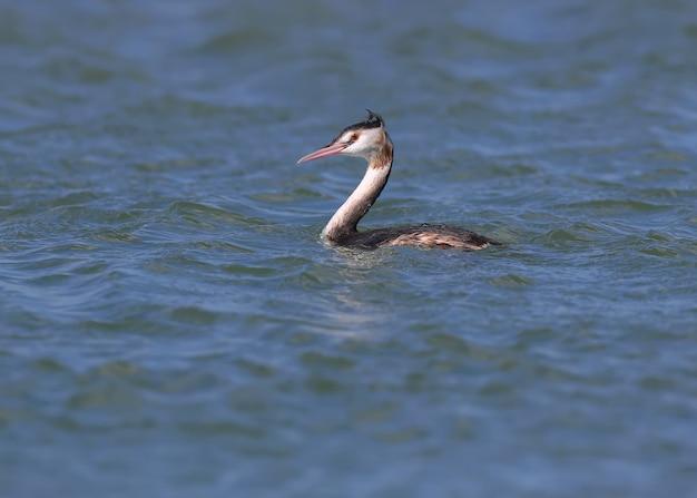 Il giovane svasso maggiore (podiceps cristatus) nuota in splendide acque blu con i pesci nel becco