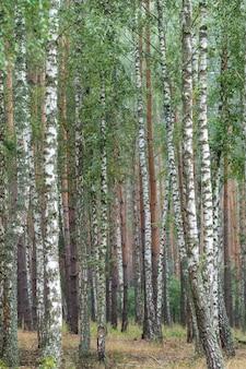 Giovane foresta di betulle verde brillante. struttura. sfondo naturale astratto.
