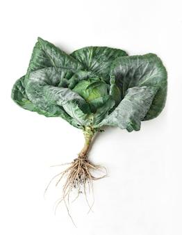 Giovane cavolo verde crescente isolato. immagine del primo piano della verdura ideale, cibo biologico naturale sano