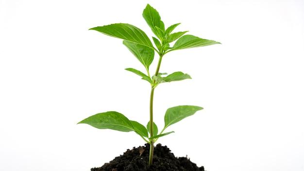 Giovane pianta verde sul terreno o che cresce dal terreno isolato su sfondo bianco.