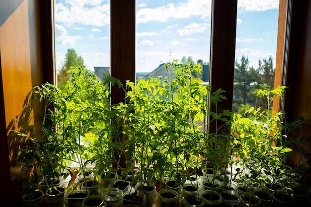 La giovane piantina verde germoglia nel vassoio della piantina vicino alla finestra. piantare semi che crescono in piccoli vasi in primavera. piantagione di ortaggi in casa