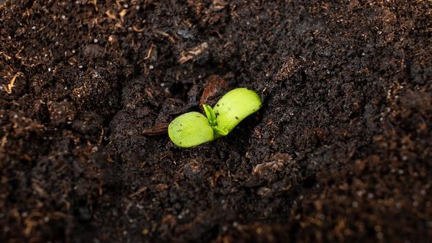 Giovane germoglio verde di pianta di marijuana medica, germogli di cannabis nel terreno.