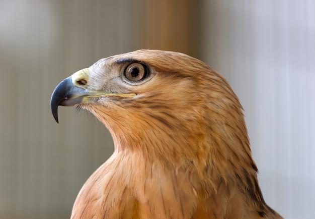 Giovane falco