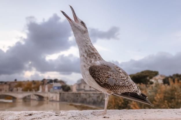 Il giovane gabbiano reale urla stando in piedi sul parapetto di un ponte sul fiume tevere a roma