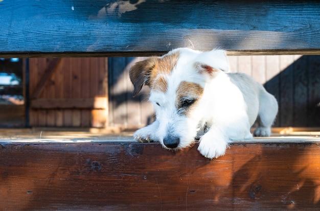 Giovane jack russell che guarda dall'alto in basso lo spazio della copia simpatico animale domestico in uno chalet