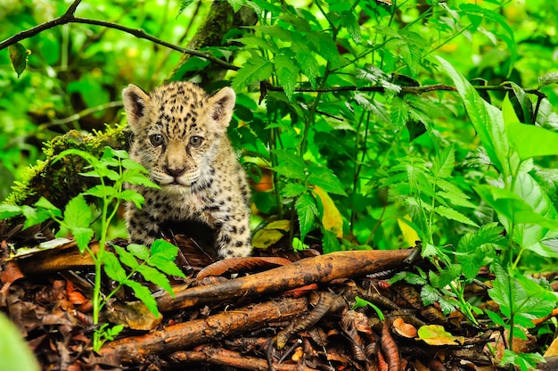 Un giovane giaguaro che si aggira nell'erba