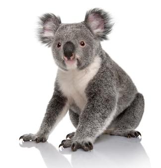 Koala giovane, phascolarctos cinereus, su un bianco isolato