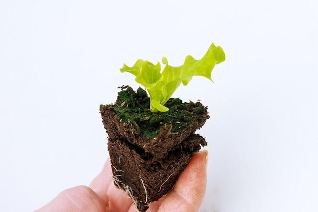 Giovane piantina di lattuga in mano su uno sfondo bianco prima di piantare in primavera nel terreno