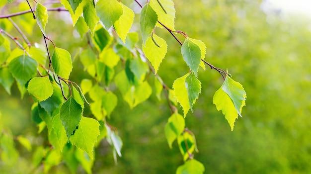 Giovani foglie di betulla verde chiaro con tempo soleggiato in colori chiari