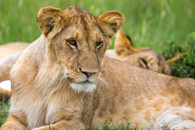 Un giovane leone in primo piano, il volto di un leone quasi addormentato