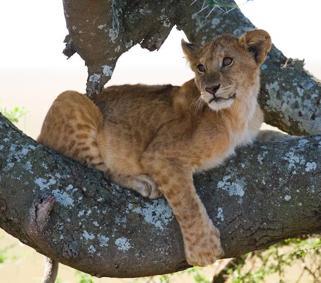 Giovane leone su un albero. parco nazionale. kenya. tanzania. masai mara. serengeti.