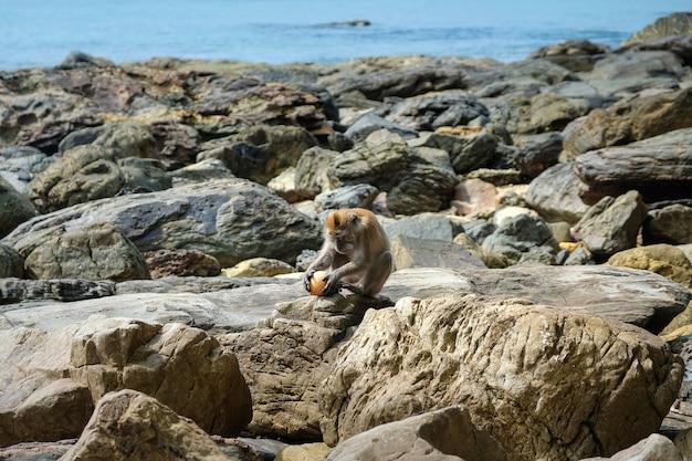 Una giovane scimmia macaco si siede su una spiaggia rocciosa e tiene una noce di cocco.