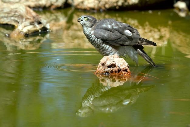 Giovane maschio di sparviero eurasiatico fare il bagno e bere in una buca d'acqua in estate, falco, uccelli, falchi, accipiter nisus
