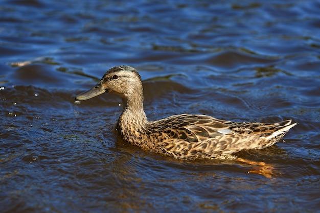 Le giovani anatre domestiche nuotano nello stagno in estate