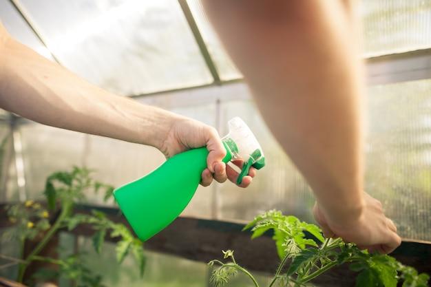 Mani del giovane che spruzzano fertilizzante della natura maturo a piante di pomodoro