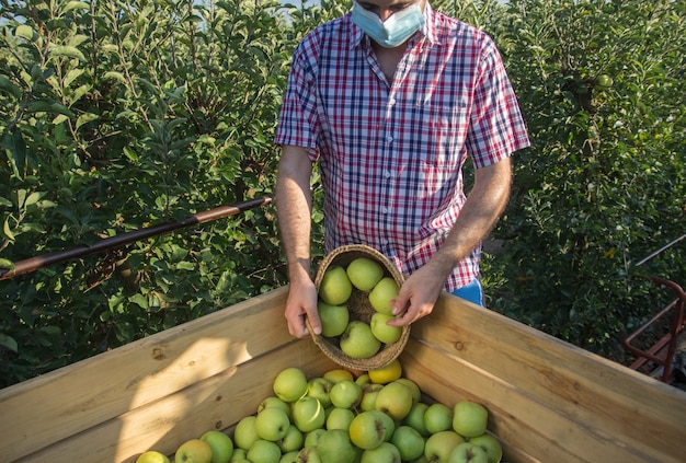 Giovane uomo in camicia a quadri raccogliendo mele d'oro in una piantagione di alberi da frutto con maschera facciale.