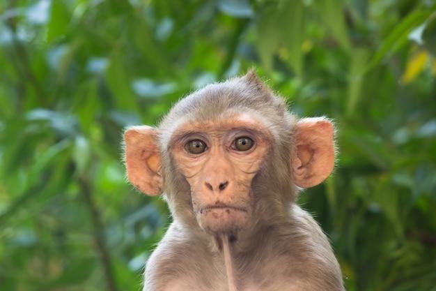 La giovane scimmia conosciuta anche come il macaco rhesus seduto sotto l'albero e guardando nella telecamera