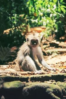 Una giovane scimmia con un viso carino si siede sulle rocce scaldate dal sole nella giungla di bali, indonesia