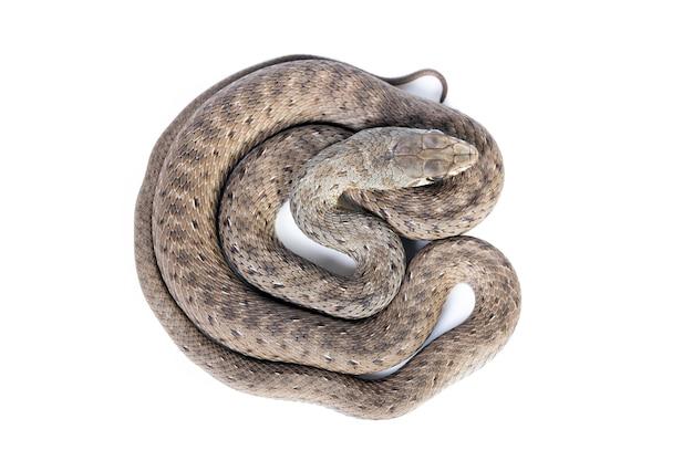 Giovane serpente di montpellier su sfondo bianco