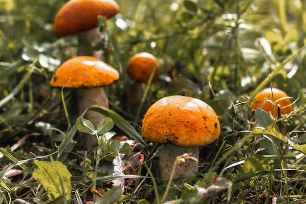 Funghi giovani, illuminati dal sole
