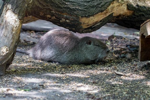 Il giovane topo muschiato dorme sul monticello in estate.