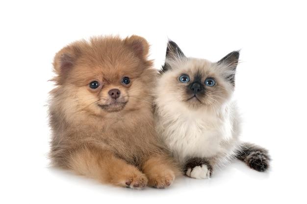 Giovane pomerania e gattino birmano davanti a uno spazio bianco