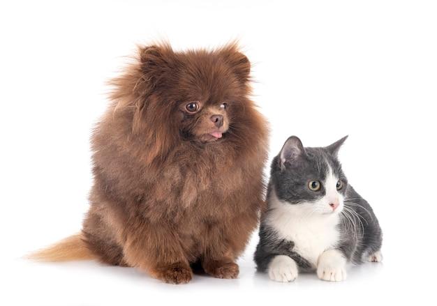Giovane pomerania e gatto