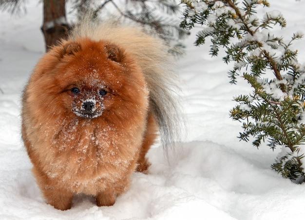Giovane cane dello spitz di pomeranian nella neve.