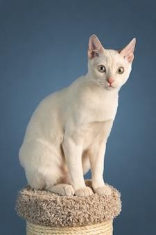 Il giovane gatto tonkinese di razza di un colore fulvo visone si siede su un tiragraffi