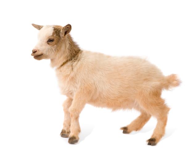 Giovane capra pigmeo isolata, queste foto sono state scattate in benin, la loro colorazione rossa proviene dall'argilla locale come polvere.
