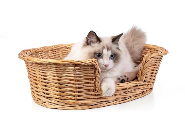 Giovane gatto ragdoll di sei mesi nel cesto su sfondo bianco