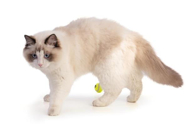 Giovane gatto ragdoll di sei mesi con una palla su bianco