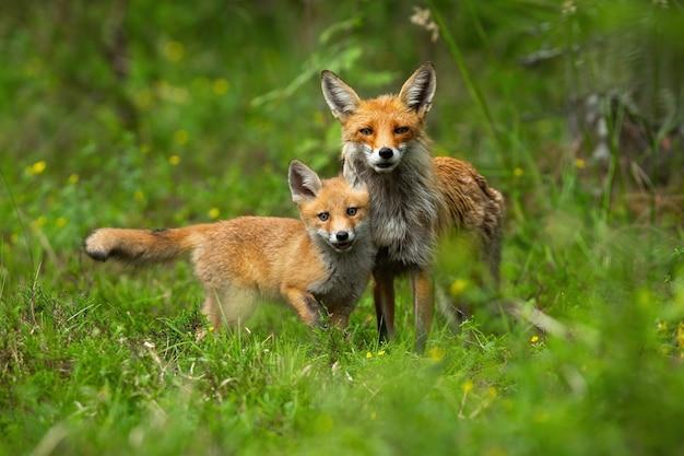 Cucciolo di giovane volpe rossa che stringe a sé con sua madre nella natura primaverile.