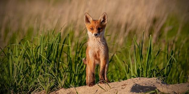 Cucciolo di giovane volpe rossa che guarda alla telecamera nella natura primaverile con lo spazio della copia