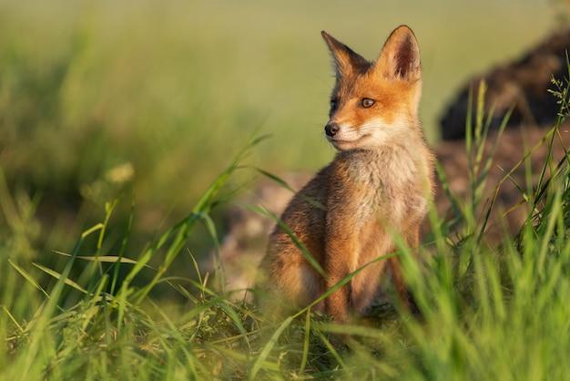 Giovane volpe rossa in erba su una bella luce solare