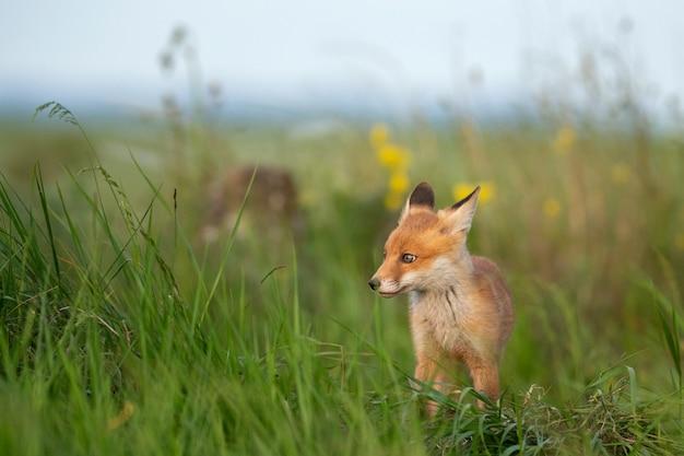 Giovane volpe rossa in erba vicino al suo buco.