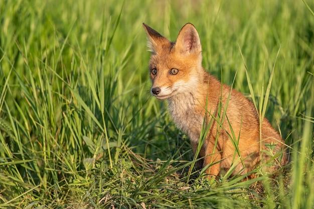 Giovane volpe rossa in erba vicino al suo buco