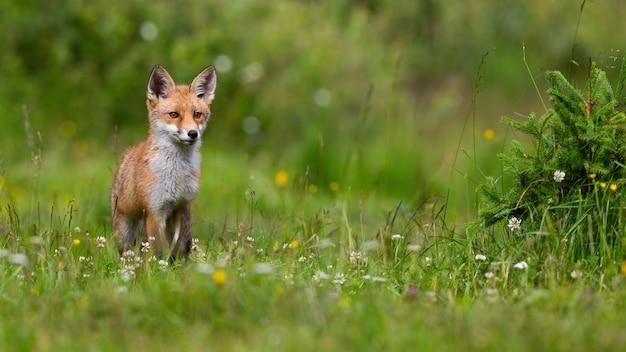 Giovane volpe rossa in piedi sul prato in fiore alla luce del sole