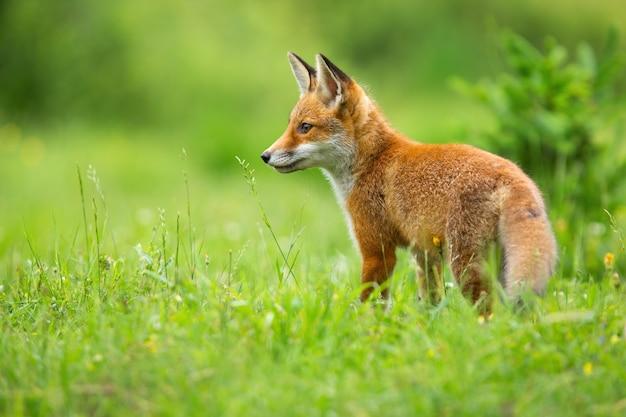 Giovane volpe rossa, vulpes vulpes, in piedi sul prato in estate verde. cucciolo di mammifero arancione che osserva sul pascolo dal retro. animale giovanile che osserva con lo spazio della copia.