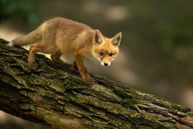 Giovane volpe rossa che cammina sull'albero nella natura estiva